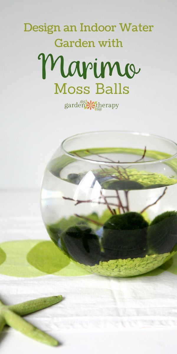Marimo moss balls are not actually moss, but instead, a type of green algae usually found in lakes. These quirky aquatic plants can make for a unique living water garden that will catch the attention of friends and family. #sponsored