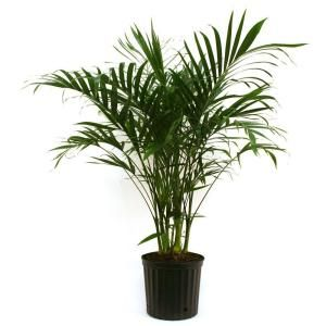 Delray Plants Cateracterum Palm in 9-1/4 in. Pot 10CAT at The Home Depot - Mobile