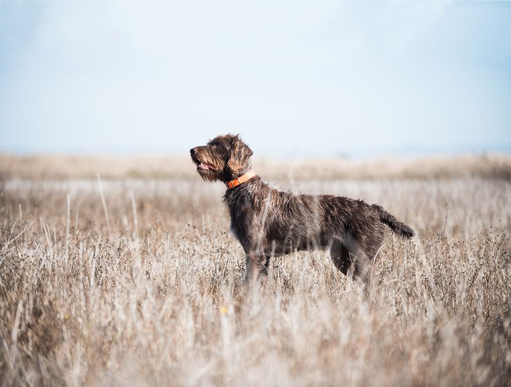 Pudelpointer puppies for sale uk
