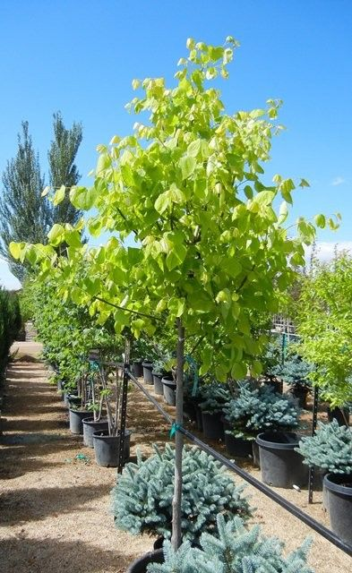 137 Best Trees Images On Pinterest Garden Trees