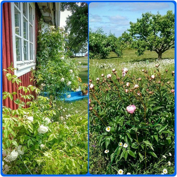 #Visingsö #sommar #semester #blommor #pioner #rosor #ledig