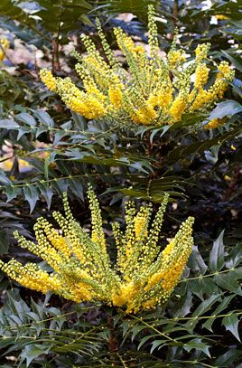Mahonia × media 'Charity'. 'Charity' is an upright evergreen shrub to 4m tall, with pinnate leaves composed of up to 21 lance-shaped leaflets, and small, cup-shaped yellow flowers borne in erect, clustered terminal racemes to 35cm long in late autumn and winter. Good for a woodland setting in a sheltered or exposed situation with full sun or partial shade in moist but well drained soil.