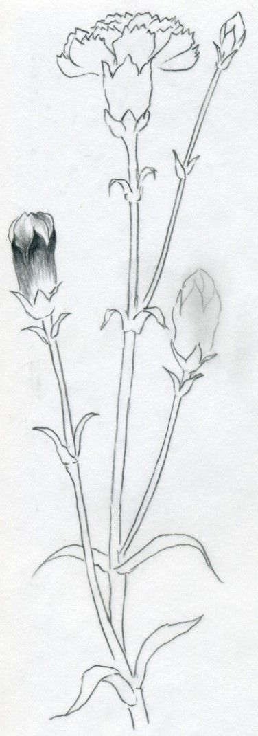 1227 best artsy images on pinterest for Simple carnation drawing
