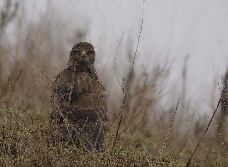 Buizerd verstopt zich in het gras - foto Leen Aardoom