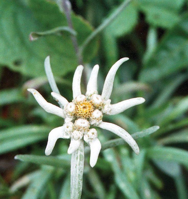 EDELWEISS Flowers, Flower seeds, Flowers perennials