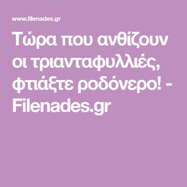 Τώρα που ανθίζουν οι τριανταφυλλιές, φτιάξτε ροδόνερο! - Filenades.gr