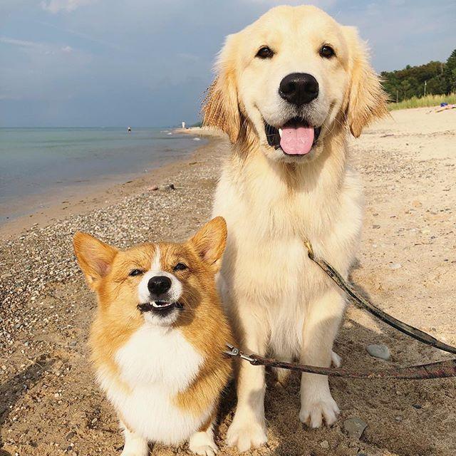 Meet Ma New Fur Friend Corgi Vs Golden Kittens And Puppies Dog Pictures Corgi