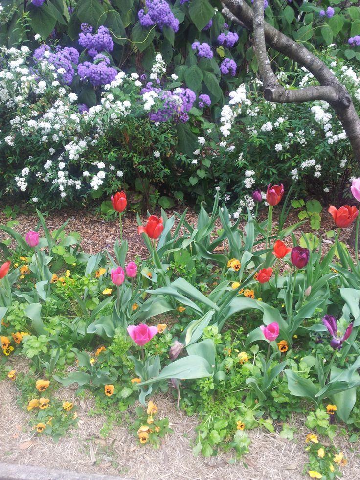 Tulips growing in Sydney's Royal Botanic Gardens