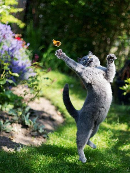 My cat KC chases butterflies, I'm pleased to say that they always get away ;-)