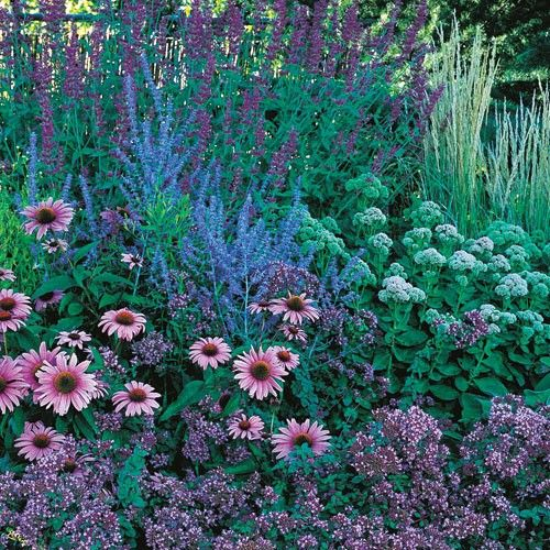 When the rest of your garden is taking a late summer snooze, the August Afternoons perennial garden will wake you up with its engaging display of pinks and blues. By combining a pleasing mixture of grasses, flower forms and colors, this hummingbird and butterfly attracting garden comes into bloom in August and continues through September. These easy-care plants thrive in most parts of the US and grow well in ordinary garden soil with full sun.