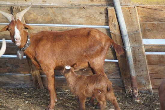 Kidding: Goat Pregnancy and Labor - Homesteading and ... Raising Goats
