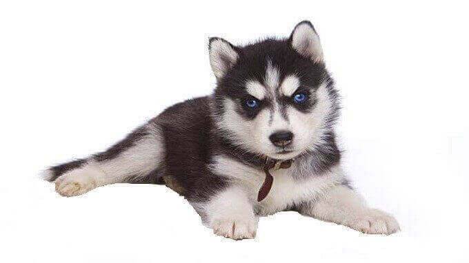 Siberian Husky Temperament Husky Puppies Price Definition
