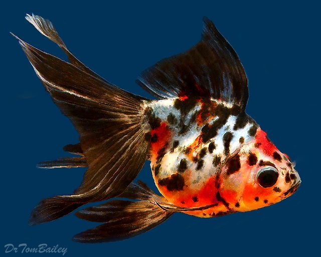 Beautiful Gold & Black Fan tailed Goldfish