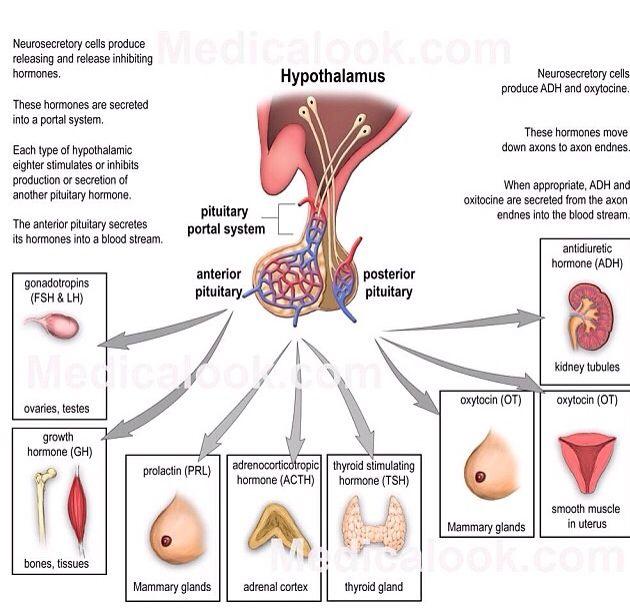 Hypothalamus - Nursing school flash card