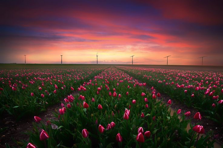 https://flic.kr/p/Gajp9r | Windmill Tulips | the Tulip season is starting in the Netherlands :)