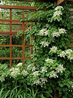 Hydrangeas Petiolaris (Climbing hydrangea) robust plant which will tolerate deep shade