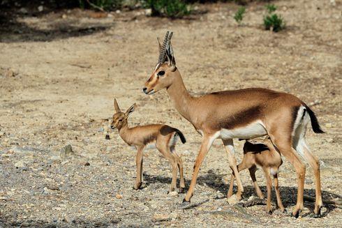 Des gazelles de Cuvier sont nés à la Réserve Africaine de Sigean, une première en France!