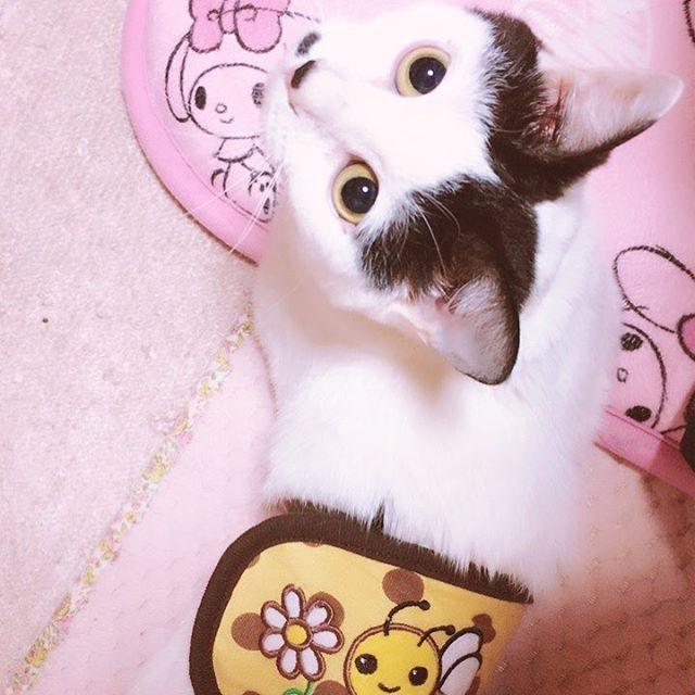腹巻き🐝💗 . . .  #はちわれ #はちわれねこ #はちわれ猫 #はちわれ部 #保護猫 #みんねこ #cat #愛猫 #ねこすたぐらむ #にゃんすたぐらむ #ねこのいる暮らし #ネコ部 #黒白猫 #アキちゃん
