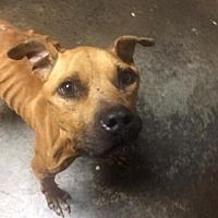 Pictures of Jigsaw a Pit Bull Terrier for adoption in Dallas, GA who needs a loving home.