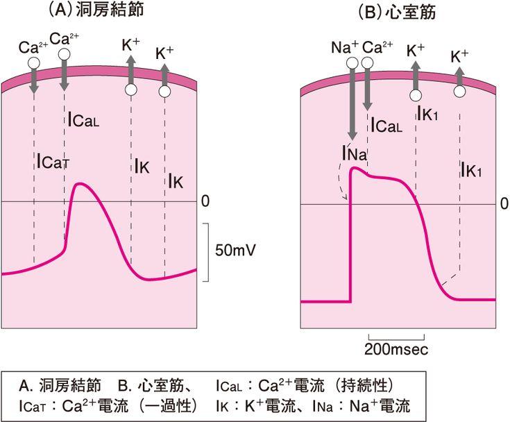 心筋の活動電位の形