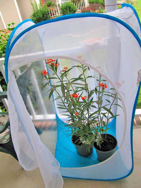 One of the biggest mistakes you can make raising monarch butterflies is using an unsafe caterpillar cage. Here are Three Cages I use for a 95% survival rate...