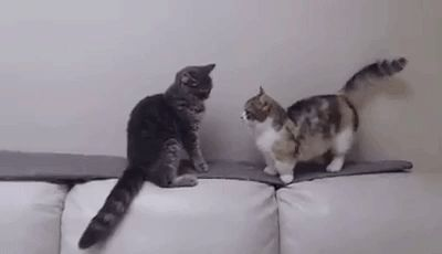 A longer arm could decide a vital cat fight