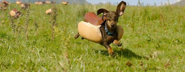 """La marca Heinz ha contratado a un grupo de dachshund como estrellas del anuncio que mostrarán en el Super Bowl 50. En un avance que han mostrado en los días previos al partido, podemos ver a docenas de perros salchicha vestidos con trajes de perrito caliente, galopando hacia sus dueños vestido de botellas de distintas salsas Heinz. Los graciosos animales saltan con alegría en los brazos de los """"condimentos"""" y por su puesto, les llenan de lametones."""