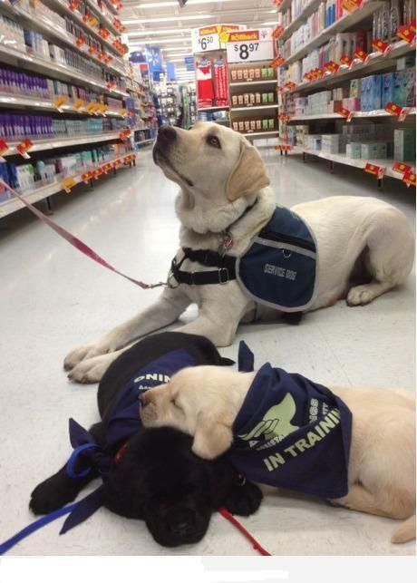 Guide dog puppies, training to do great things like mom :)