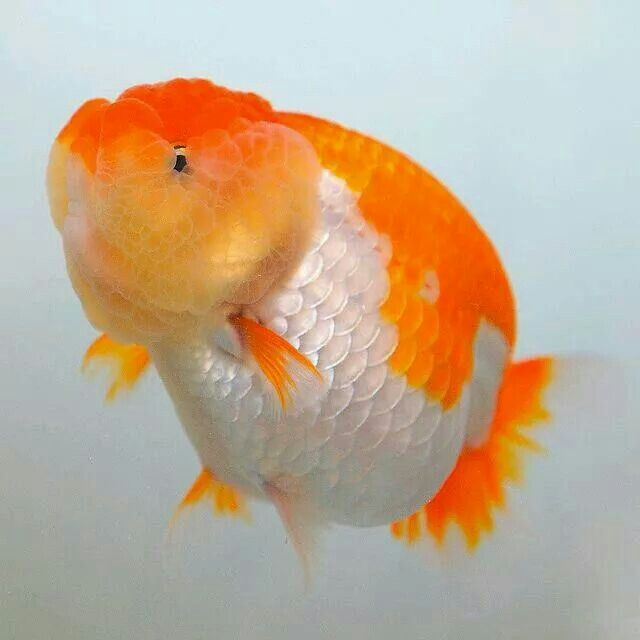 17 Best ideas about Goldfish Carassius Auratus on ...