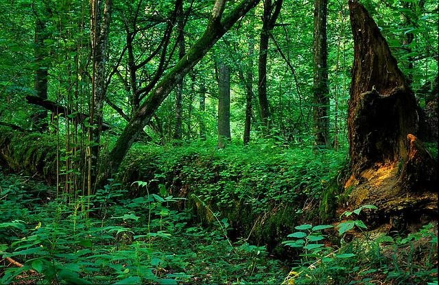 The 'forest primeval' or biatowieza forest in Poland is nearly 10,000 years old (!) and is  a window through time- this is what all of primordial Europe once looked like. It would be the chance to see a Europe that would have looked old and wild even to the Romans.