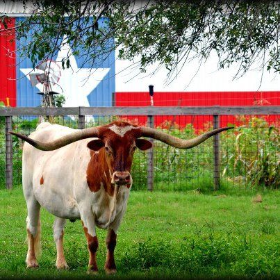 Longhorn in front of Texas painted barn