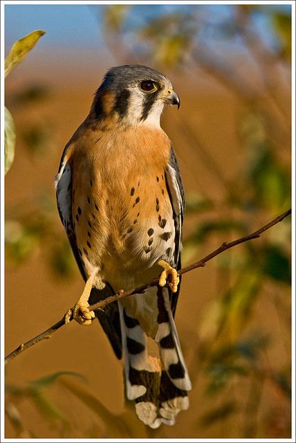 "The American Kestrel is a small falcon. This bird was colloquially known in North America as the ""Sparrow Hawk""."