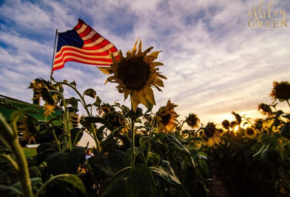 American Flag waves above a sunflower field at by AshleyGreenPhoto