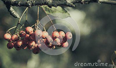 Viburnum berries ripe. shot in the far east