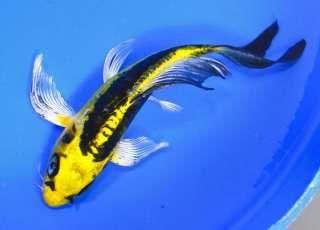9 Best Koi Fish Images On Pinterest Backyard Ponds Fish