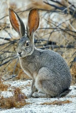 Hare by margie