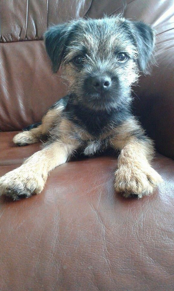 Gorgeous George He Just So Is 2020 Border Terrier Puppy