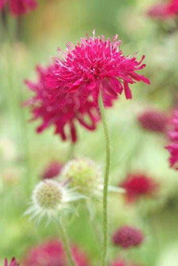 Beemdkroon (Knautia macedonica) jul-sept zon 50-70. mooie plant