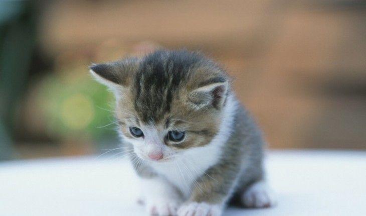 Cara Merawat Bulu Anak Kucing Persia | binatang.web.id