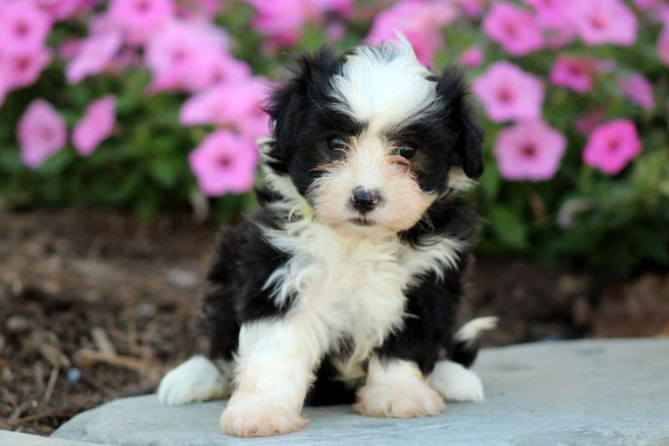Almanzo greenfield puppies havanese puppies