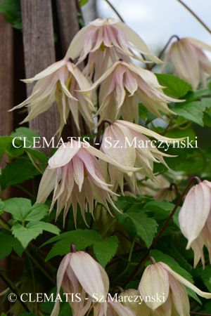 Garden Ideas Gr 162 best clematis images on pinterest | plants, flowers and vines