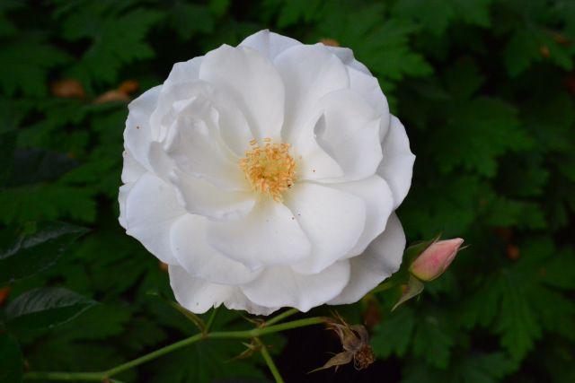 Aamun Schneewitzen -ruusu