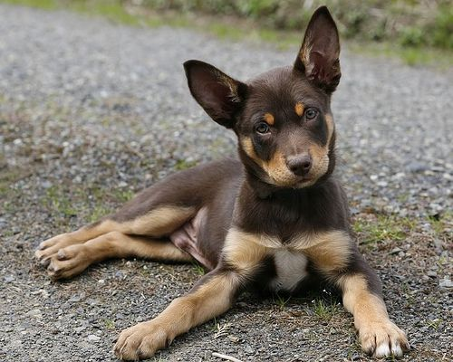 Just found out my rescue dog is full Australian Kelpie!!! Kinda looks like this Kelpie puppy!