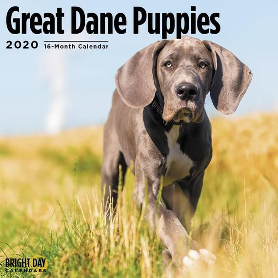 2020 Great Dane Puppies 16 Month 12 X 12 Wall Calendar Cute Big