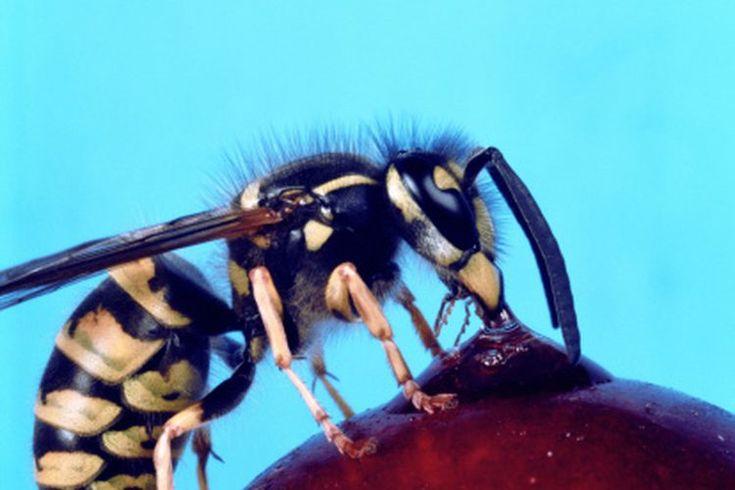 Repelente natural de abejas y avispas | Muy Fitness