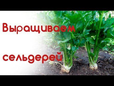 Сельдерей корневой, листовой уход в июне - YouTube