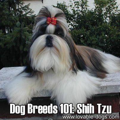 Chinese lion dog shih tzu - photo#15