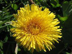 lehtiä voi lisätä salaatteihin, keittoihin ja muhennoksiin, kukista voi tehdä simaa, kaljaa ja viiniä tai niitä voi syödä sellaisenaan kiehautettuna tai vaikka hapatettuna. Juuria voi käyttää keitettynä eri ruokien lisäkkeenä, ja paahdetuista juurista on valmistettu myös hyvää kahvinkorviketta. Loppukesän voikukat eivät sovellu salaattikäyttöön. Salaaatteihin käyvät myös kukinnot ja nuput.