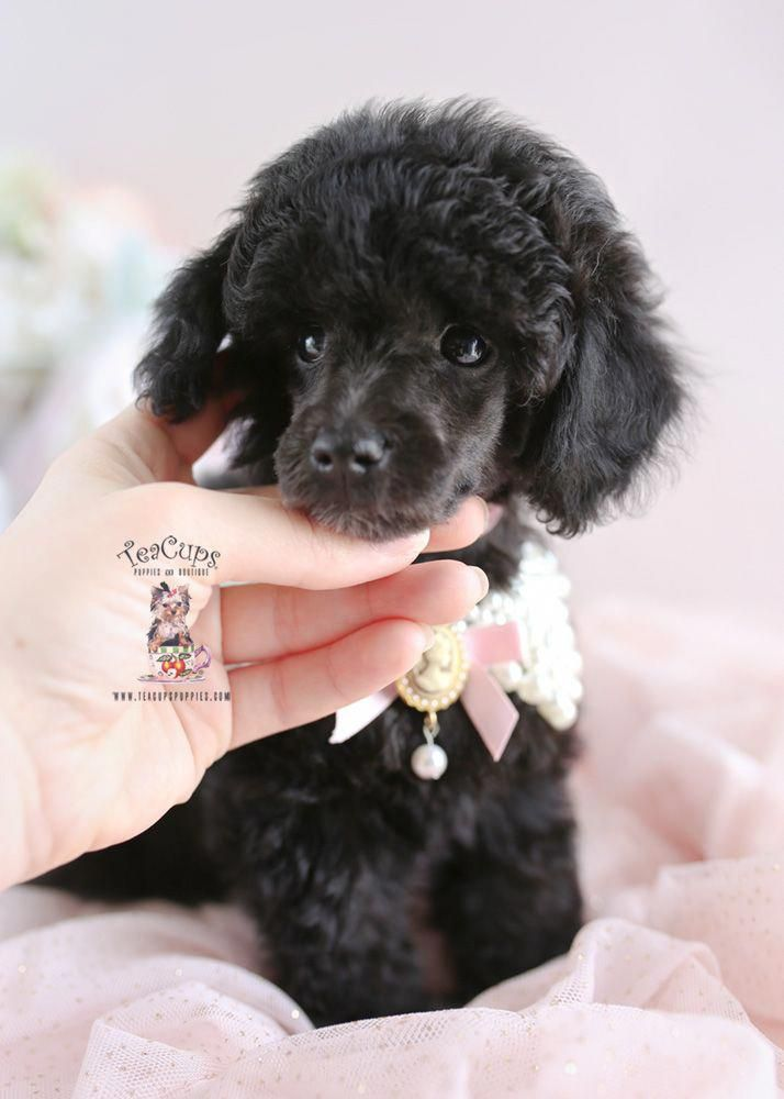 Black Toy Poodle Puppy For Sale Teacup Puppies 193 A Poodlepuppy