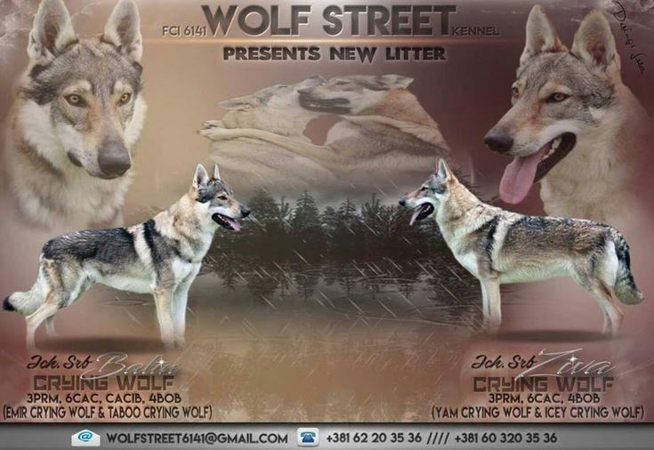 1000+ ideas about Czechoslovakian Wolfdog on Pinterest ...